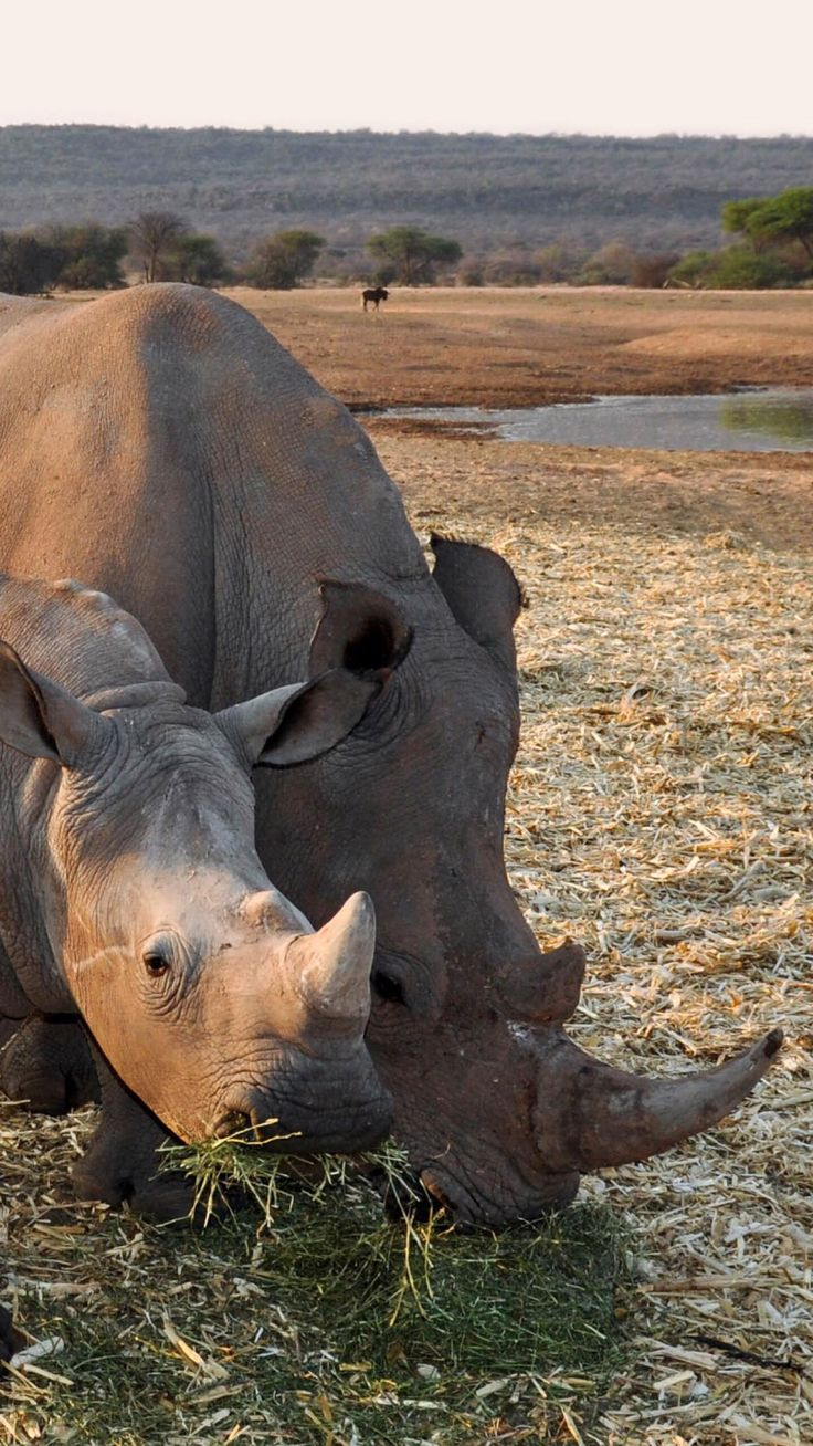"""How do """"conservation"""" """"economy"""" and """"Safari Club International"""" have in common? Rhino farming in South Africa, trophy hunting, and more."""
