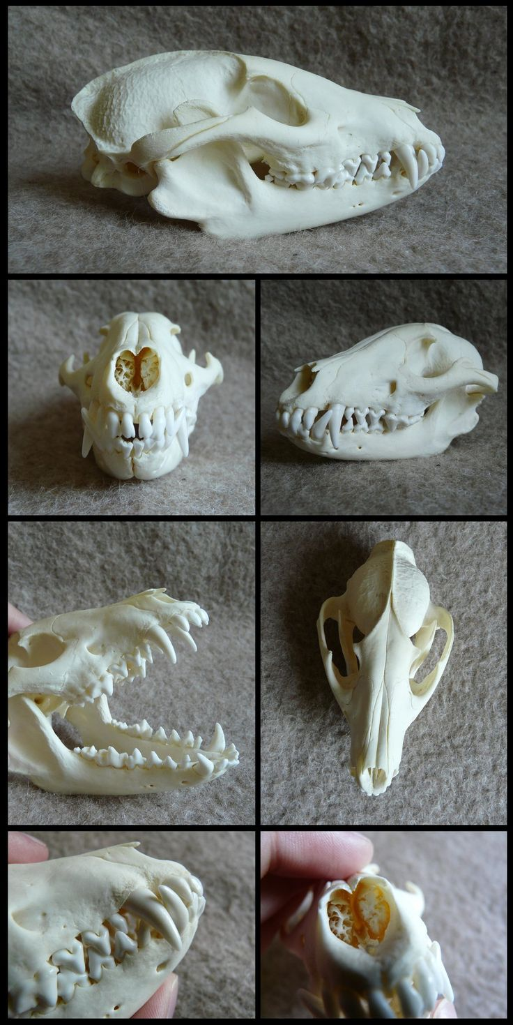 Raccoon Dog Skull by CabinetCuriosities