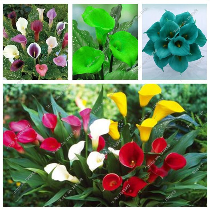 2016 new 100pcs Aerobic indoor potted plants flower bulbs calla Lily seed multicolor selection #clothing,#shoes,#jewelry,#women,#men,#hats,#watches,#belts,#fashion,#style