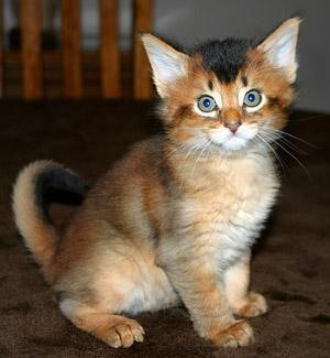Somali Cats, 9th friendliest breeds of kittens:)