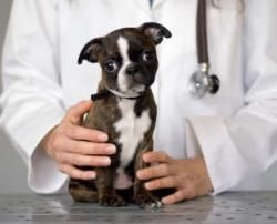 Seriously cute, sad-faced baby brindle Boston Terrier at the vet.