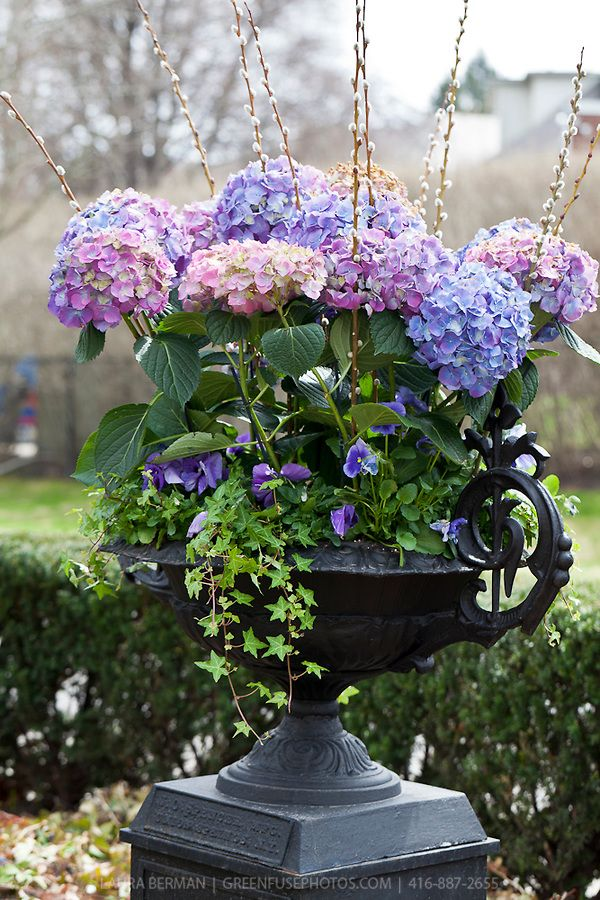 Spring container garden - blue & pink hydrangeas, purple pansies, ivy & pussy willow - black cast iron urn. Elegant. Container planting.