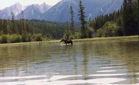 moose in prince george bc