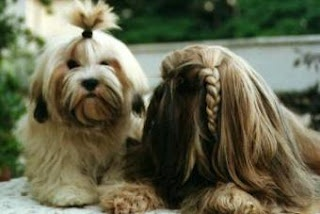pretty little Lhasa Apsos :) #lhasaapso