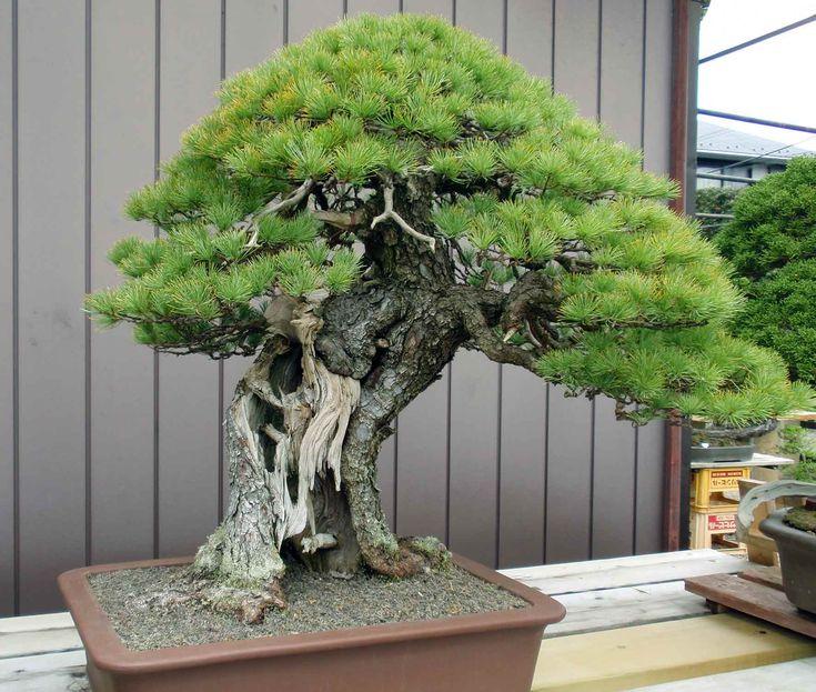 Masahiko Kimura bonsai - Buscar con Google