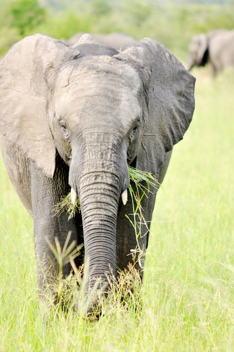 elephants on safari - Kruger Safari, South Africa | lark&linen