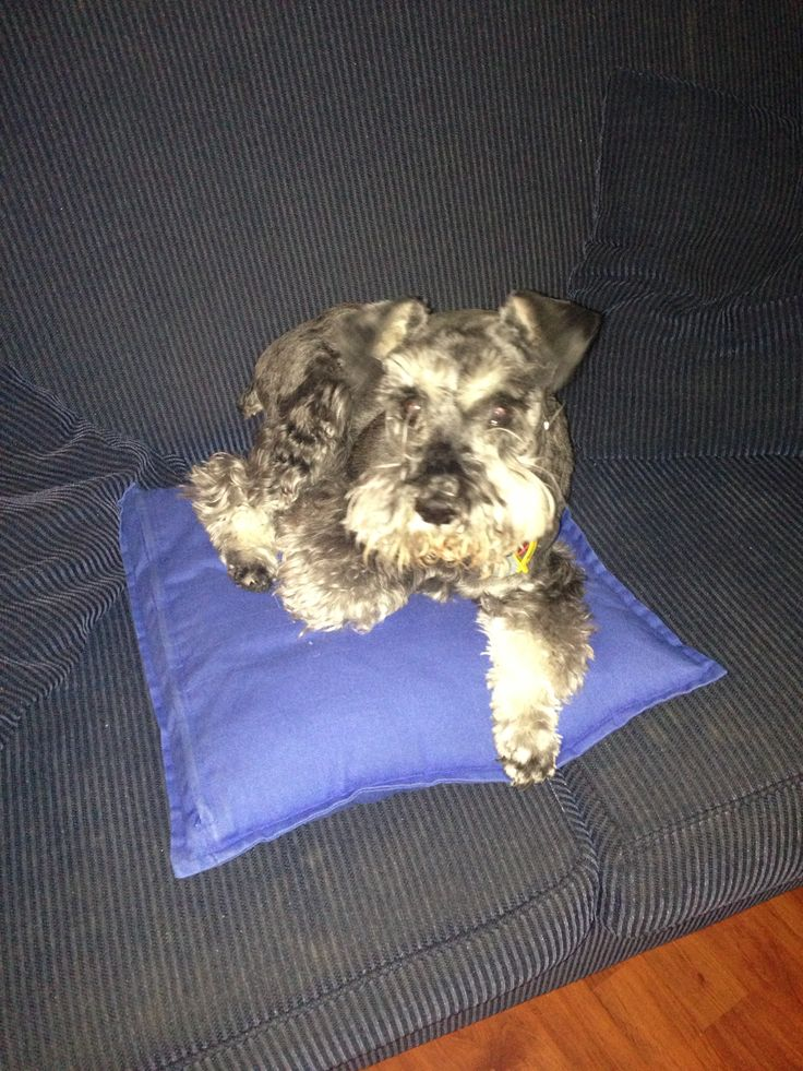 Making myself at home #schnauzer #thinksheshuman