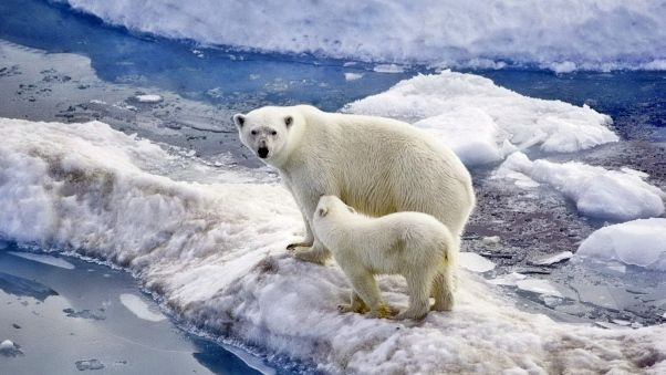 Wallpaper bear, polar bear, family, baby, snow, ice, ocean, walk
