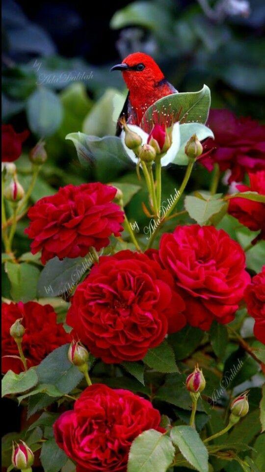 Розы и птицы фото