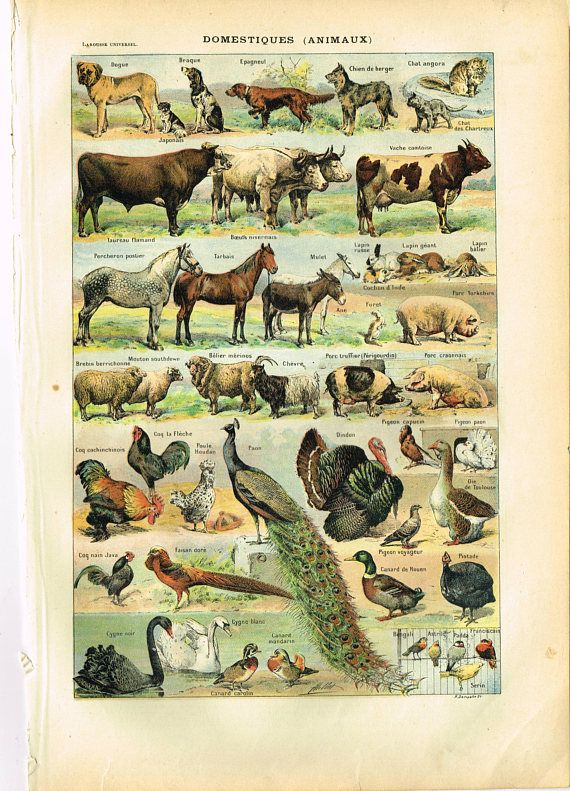 Original French Larousse Print Lithograph Domestic Animals Animal Domestique Vintage Animals Print Domestic Animals Chart 11 4 X 8 Inches Animal Posters Animals Farm Animals