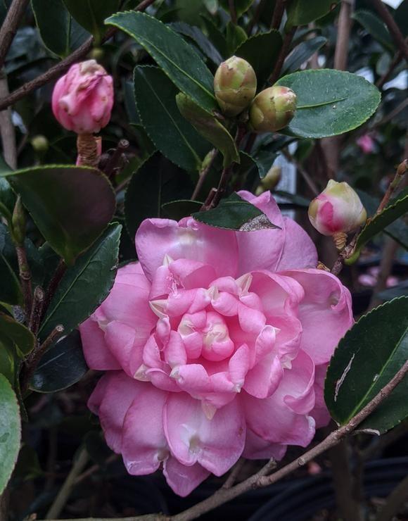 Camellia Japonica Black Tie In 2020 Forest Nursery Nursery Camellia