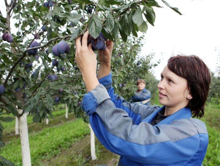 Урожай слив зависит от своевременной обработки дерева