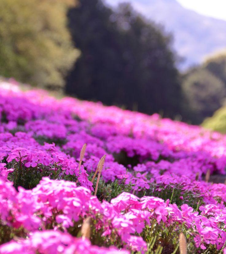 芝桜。紫赤。