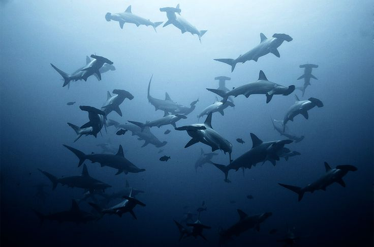 """A shoal of hammerhead sharks. (How about me pretending I use the word """"shoal"""" regularly? Awesome.)"""