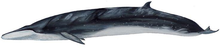 Ballena Sei  Balaenoptera borealis  El cuerpo de este cetáceo es delgado y esbelto, pudiendo medir 18 m de largo. Desde una vista dorsal de la cabeza el hocico se observa menos redondeado que el de la ballena azul y menos puntiagudo que el de la ballena de aleta. Presenta una aleta dorsal bastante encorvada, ubicándose más adelante que en otras especies de rorcuales. Las aletas pectorales y caudales son pequeñas. Posee una única cresta longitudinal que va desde los orificios