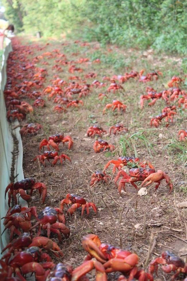 25+ beste ideeën over Christmas island crabs op Pinterest ...