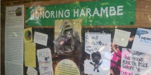 Zoológico reabre sección donde niño cayó en jaula de gorila -...