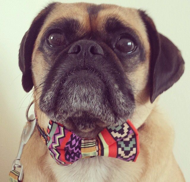 Popular Ribbon Bow Adorable Dog - 1731a3055f37f875712fccaff220b38d--aztec-fame  Pictures_605782  .jpg