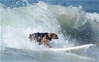 Hanzo, a four-year-old  boxer, rides a wave during the annual Surf City Surf Dog competition at Huntington Beach in California