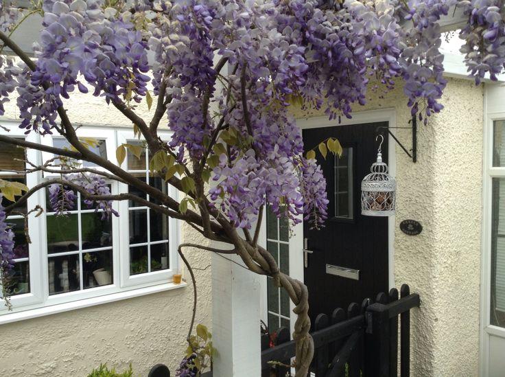 Stunning wisteria in front of black front door.