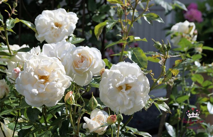 Beetrose Lions Rose, cremeweiß, im Aufblühen ein Touch von apricot und rosa - Züchter W. Kordes' Söhne 2002 (Märchenrose)