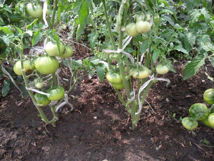 Выращивание помидоров сразу на грядке