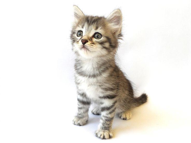 Hypoallergenic Cats Siberian Cat Breeders KITTENS