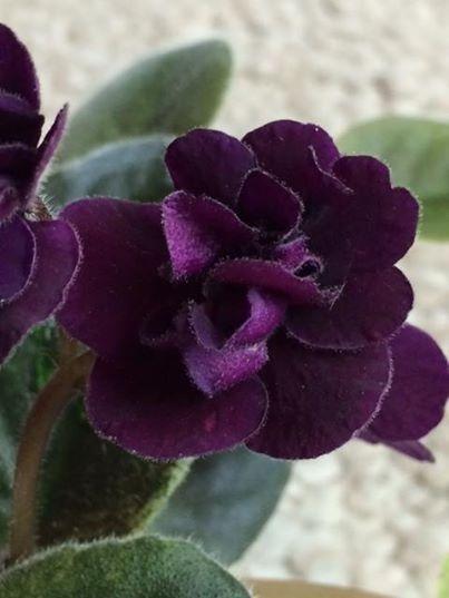 Jolly Prince (10462)Single-semidouble dark purple pansy. Crown variegated dark green and gold, plain. Semi