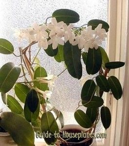 Madagascar Jasmine makes a beautiful, fragrant house plant. Also called the Hawaiian Wedding Plant, its flowers are popular for bridal bouquets. Care tips.
