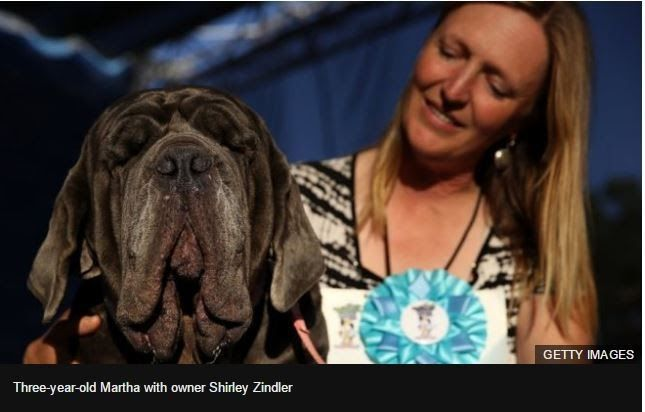 Martha with owner Shirley Zindler beat 13 other contenders to be presented with a trophy and a $1500 (1200 pounds) prize as its crowned the world ugliest dog.    Martha a Neapolitan mastiff has been named this years Worlds Ugliest Dog.  The annual competition now it its 29th year was held in Petaluma California. Martha with owner Shirley Zindler beat 13 other contenders to be presented with a trophy and a $1500 (1200) prize.  The big-jowled crowd-pleaser will now be flown to New York for…