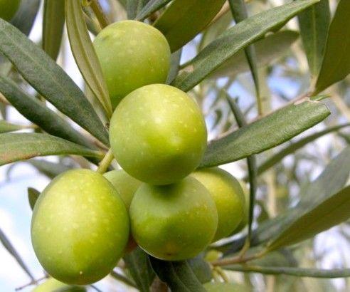 Addolcire le olive Verdi e farle in salamoia, metodi tradizionali e moderni... quale scegliere? http://www.lapulceeiltopo.it/forum/piccoli-grandi-segreti-in-cucina/1846-addolcire-le-olive-verdi#2547 http://www.lapulceeiltopo.it/forum/ricette-sottovetro-conserve-salse-confetture/1003-olive-verdi-in-salamoia