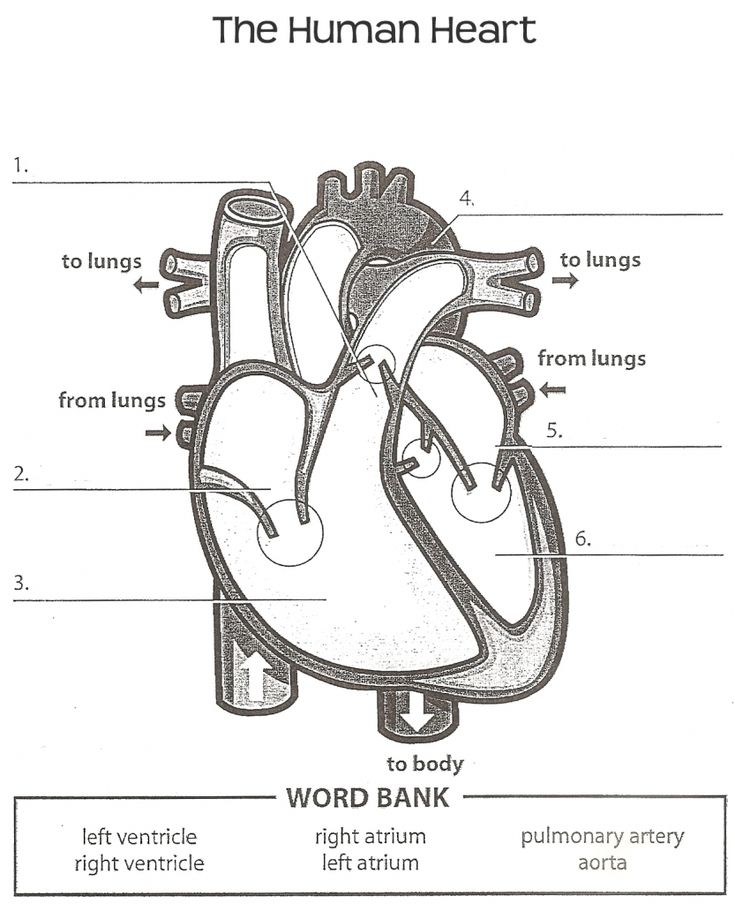 Human Anatomy Labeling Worksheets Tag Heart Anatomy