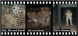 SHAYAMANZI Leopards Zizi and her two daughters, Zel and Zandi - April 2014 Wildland Article