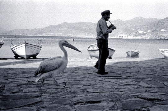 Petros the pelican of Mykonos,Cyclades,Greece 1957. Photo from Rene Burri.