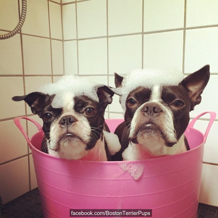 Rub-a-dub-dub, 2 Bostons in a tub =)