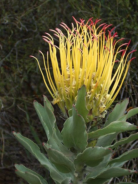 Protea - A flower of South Africa