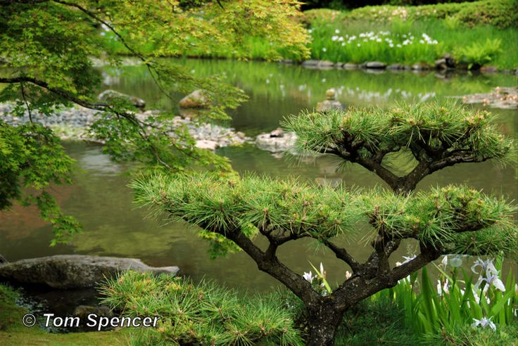 A beautiful example of Japanese cloud pruning.