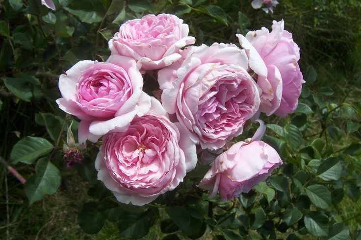 A new pink climber as yet un-named. Bred by Mike Athy