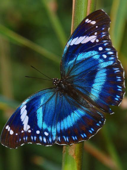 Probably the prettiest blue butterfly ever - apparently called the Tanzanian Diadem Buttefly