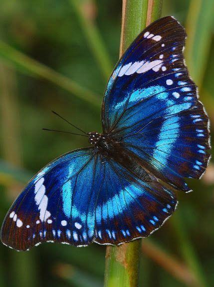 Tanzanian Diadem (Hypolimnas antevorta)Edyta . Motyl: motyl to symbol spełnienia…