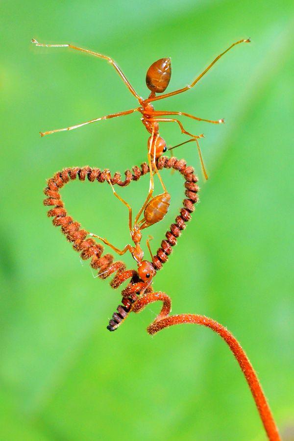 black valentine ant