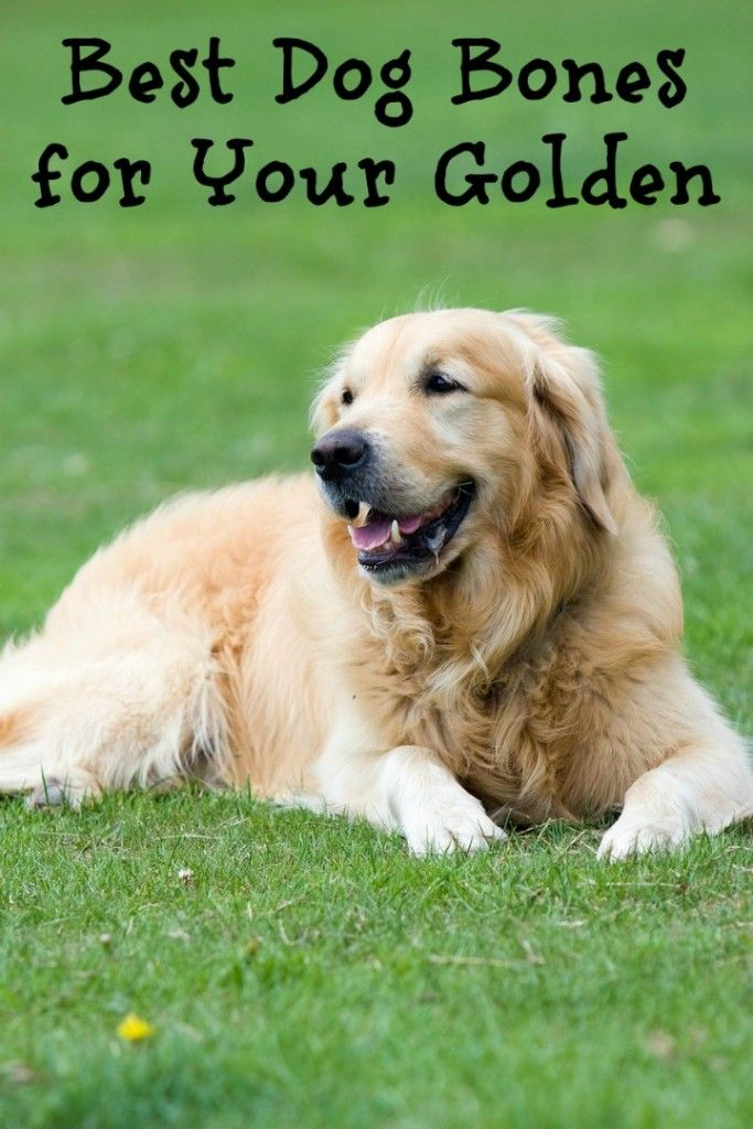 Are you constantly searching for a great list of the best dog bones for golden retrievers?  You're in luck! Check out our list of the best picks!