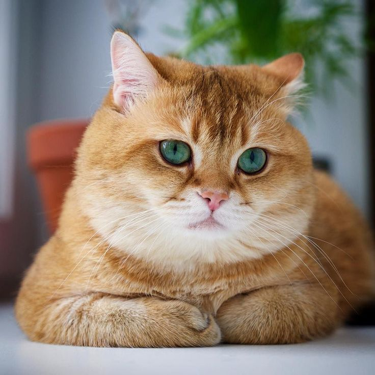 Best Hosico Cat Images On Pinterest Beautiful Boots And Cartoons - Hosico the cat is pretty much the real life puss in boots
