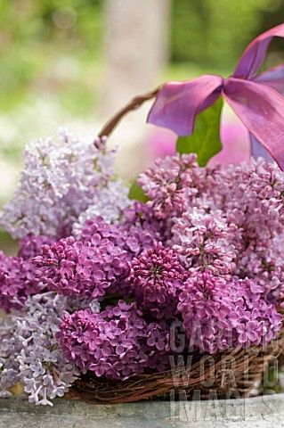 Time To Smell The Lilacs... Lilacs in a Basket - Photo by Georgianna Lane. (1) From: Garden World Images, please visit