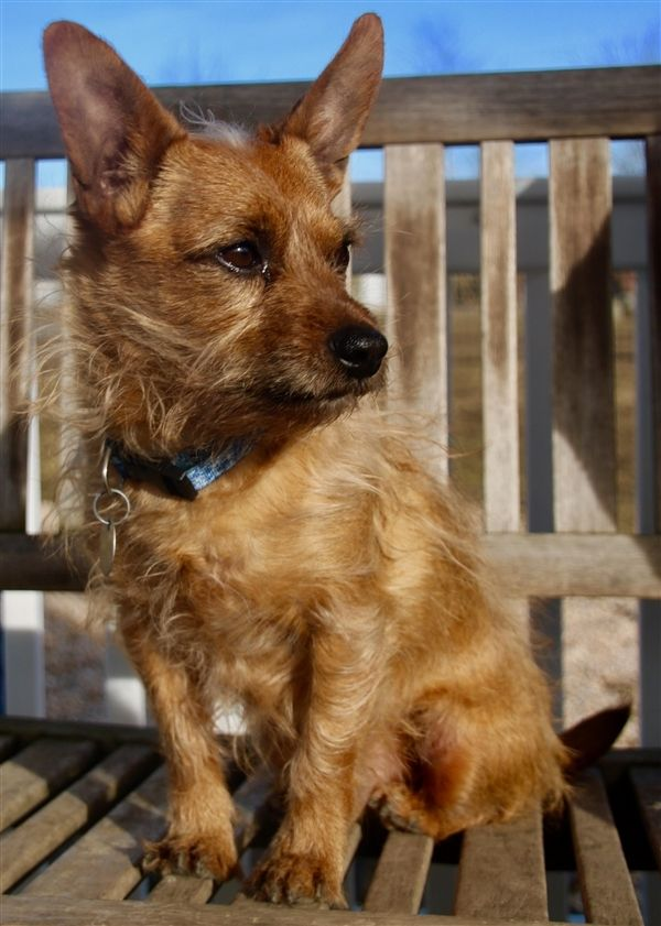 Adopt Jamison On Cairn Terrier Pet Search Different Dogs