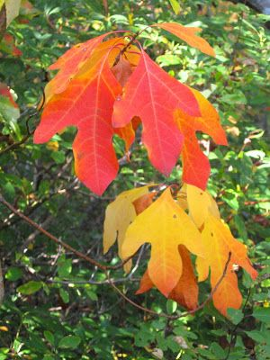 how to make sassafras tea with leaves