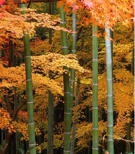 Bamboo and Japanese Maples at Tenryu-ji Garden in the Arashiyama area of Kyoto. Japan. Photo by Tenryuji Momiji.