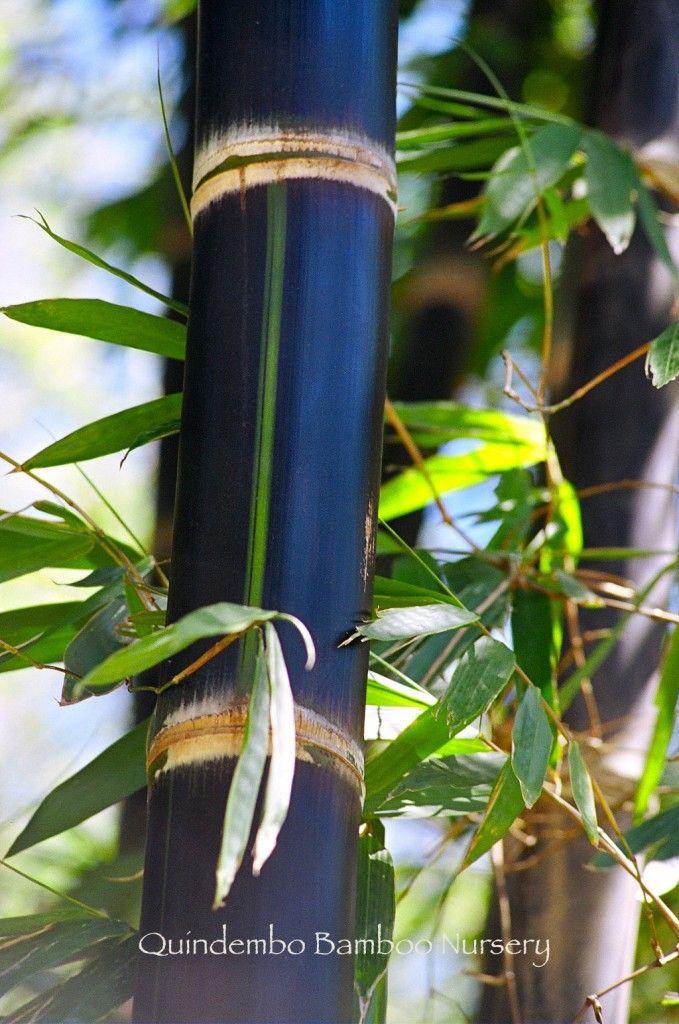Betung Hitam/Dendrocalamus asper black - Quindembo Bamboo       Betung Hitam.  Dendrocalamus asper