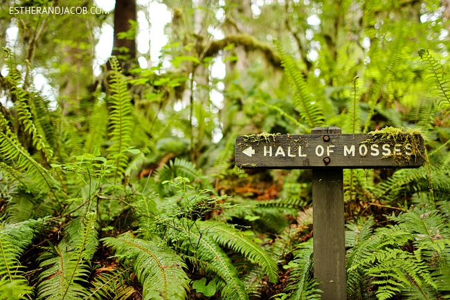hall of mosses. rainforest washington. olympic national park pictures. olympic rainforest. rainforest in us. hiking in olympic national park.