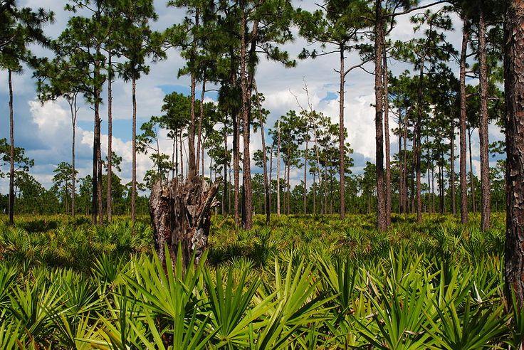 Slash Pine Photograph - Slash Pine And Saw Palmetto by Steven Scott